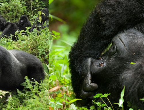 3 day mountain gorilla trekking uganda