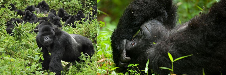 mt gorilla trekking uganda.jpg