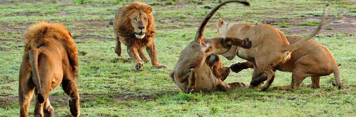 5-days-serengeti-big-cats-safari-2.jpg
