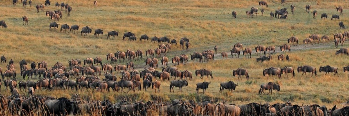 serengeti-wildebeest-migration.jpg